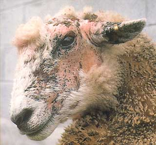 A sheep showing clinical FE